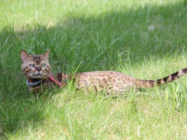Вязка: Вязка с бенгальским котом в Москве фото3