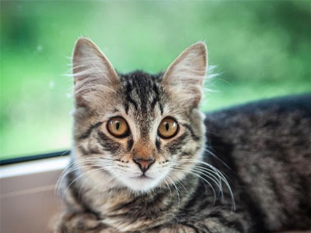 Отдам в дар: Ищет дом котенок Мося, 4 месяца фото2