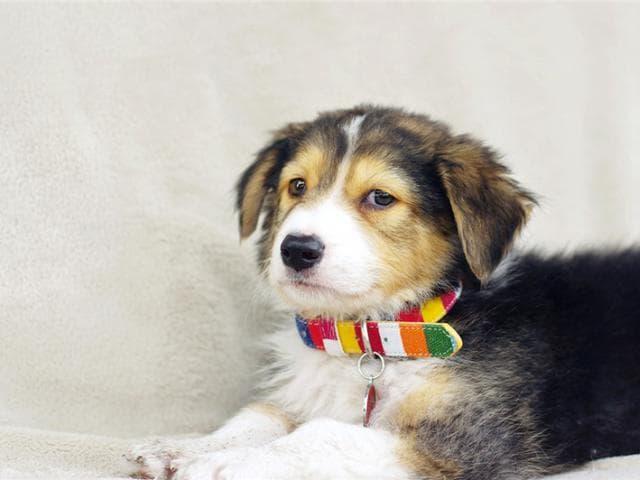 Отдам в дар: Самые милый щенок Тамир в добрые руки