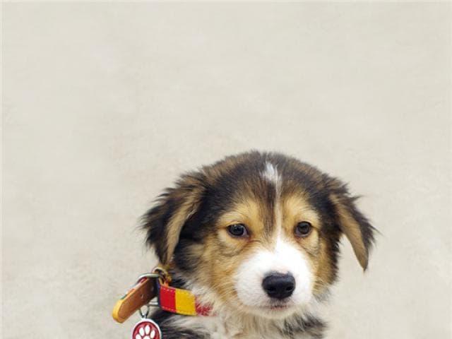 Отдам в дар: Самые милый щенок Тамир в добрые руки фото2