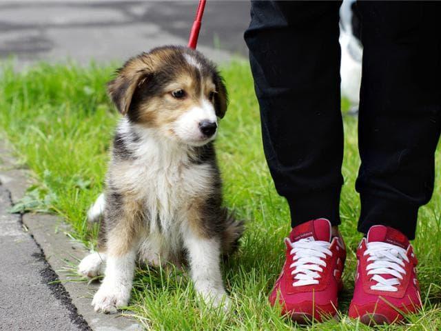 Отдам в дар: Самые милый щенок Тамир в добрые руки фото3