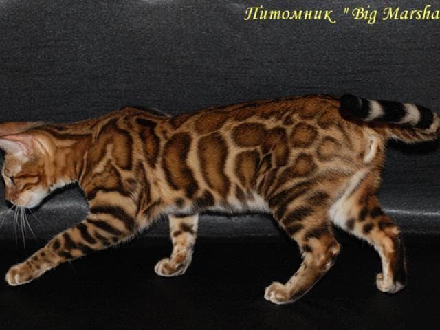Продаю: Бенгальские котята
