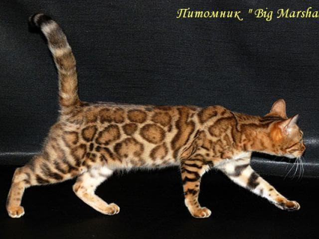 Продаю: Бенгальские котята фото3