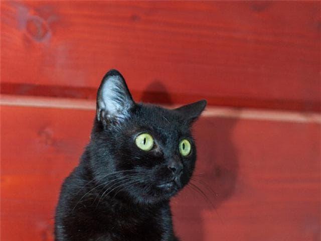 Отдам в дар: Разноглазая кошечка Пантера ищет дом