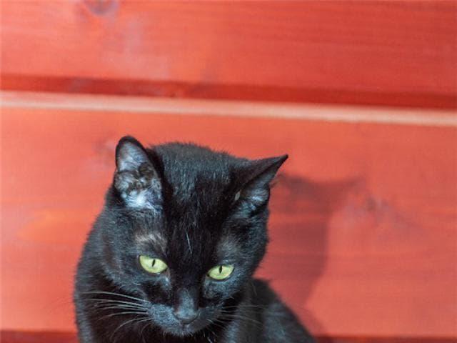 Отдам в дар: Разноглазая кошечка Пантера ищет дом фото2