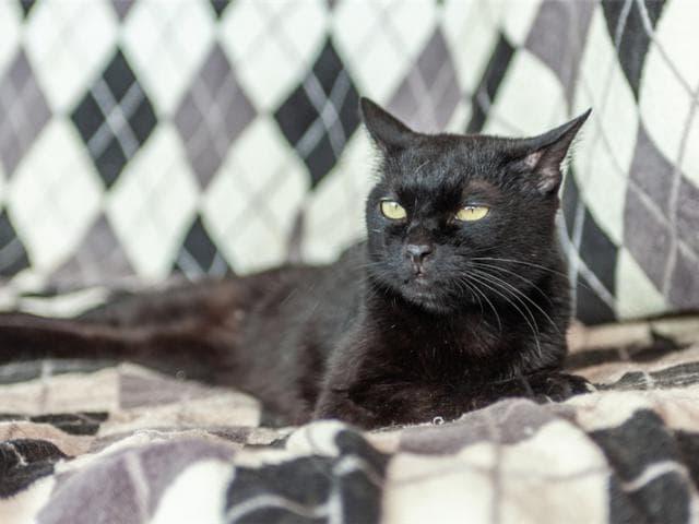 Отдам в дар: Разноглазая кошечка Пантера ищет дом фото3