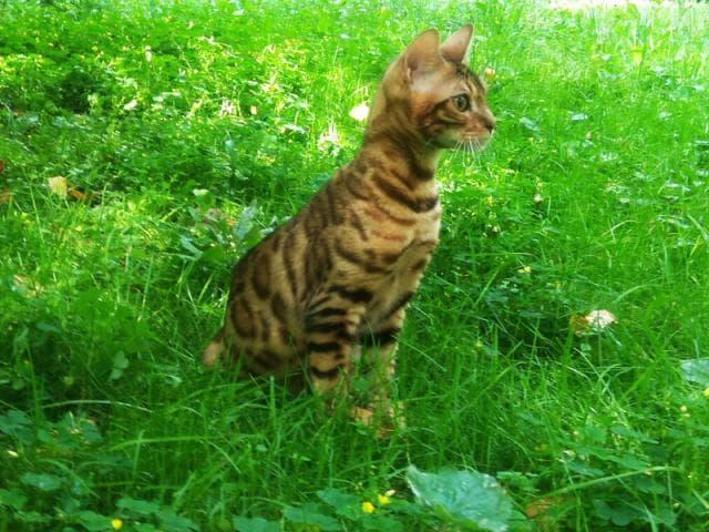 Продаю: Бенгальские котята фото2
