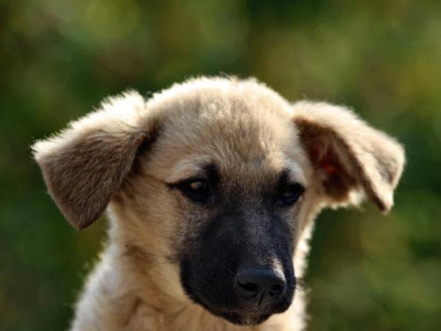 Отдам в дар: Замечательный щенок Север в добрые руки фото2