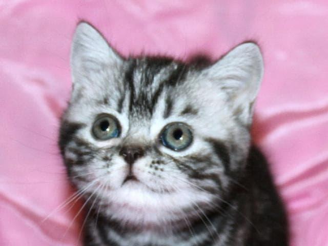 Продаю: Британские котята вискас из питомника