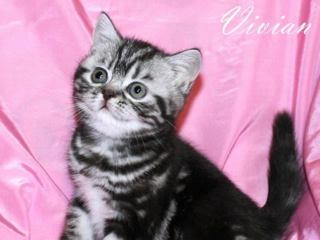 Продаю: Британские котята вискас из питомника фото2
