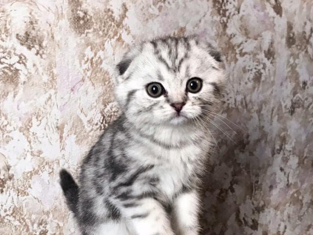 Продаю: Шотландские вислоухие и прямоухие котята