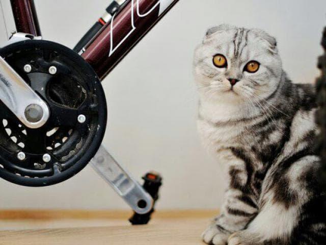 Продаю: Шотландские вислоухие и прямоухие котята фото3