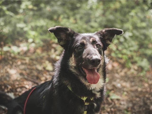Отдам в дар: Чудесная собака Лада в добрые руки