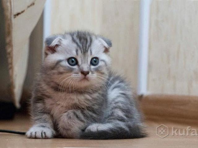 Продаю: котята шотландские