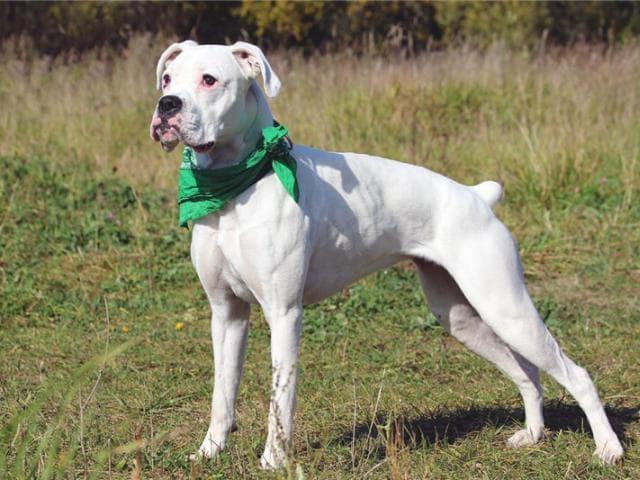 Отдам в дар: Уникальный щенок боксера Моника ищет дом