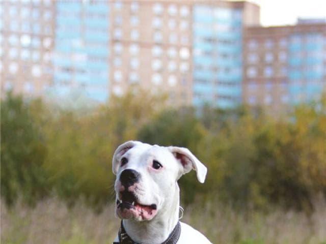 Отдам в дар: Уникальный щенок боксера Моника ищет дом фото2