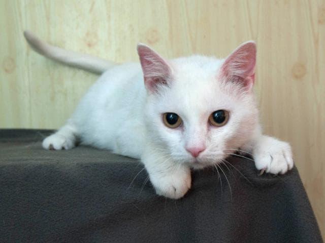 Отдам в дар: Очаровательная белоснежная кошечка в добрые руки фото3