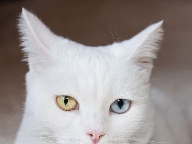 Отдам в дар: Лилу – элегантная и нежная кошечка 3,5 лет ищет св фото2