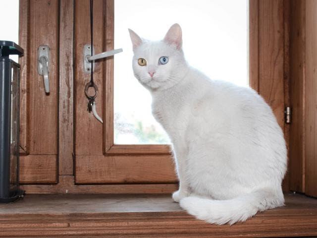 Отдам в дар: Лилу – элегантная и нежная кошечка 3,5 лет ищет св фото3