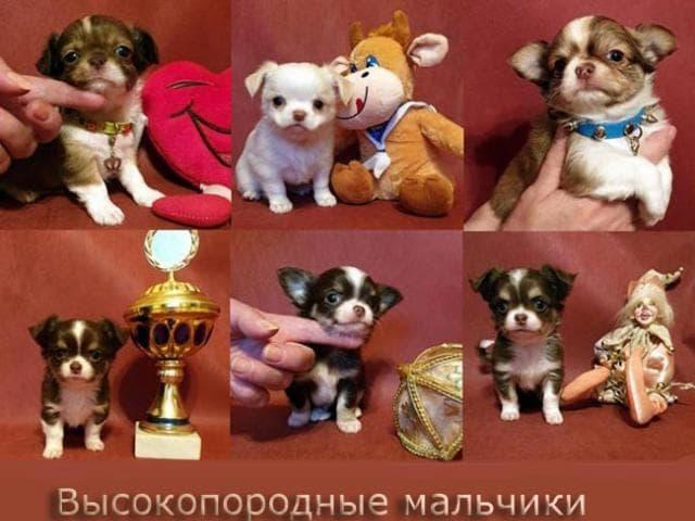 Продаю: Чихуахуа мини щенки разного возраста и окраса