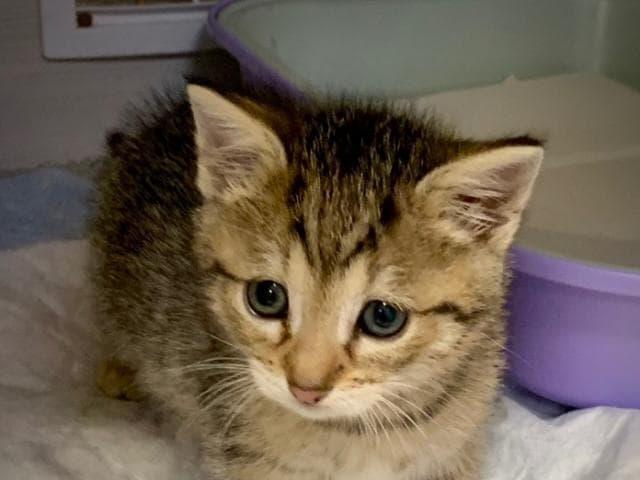 Отдам в дар: Ищет дом голубоглазый котенок Артур