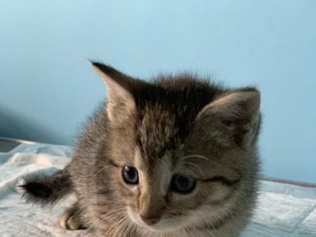 Отдам в дар: Ищет дом голубоглазый котенок Артур фото2