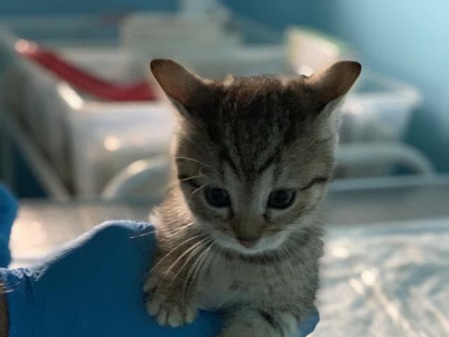Отдам в дар: Ищет дом голубоглазый котенок Артур фото3
