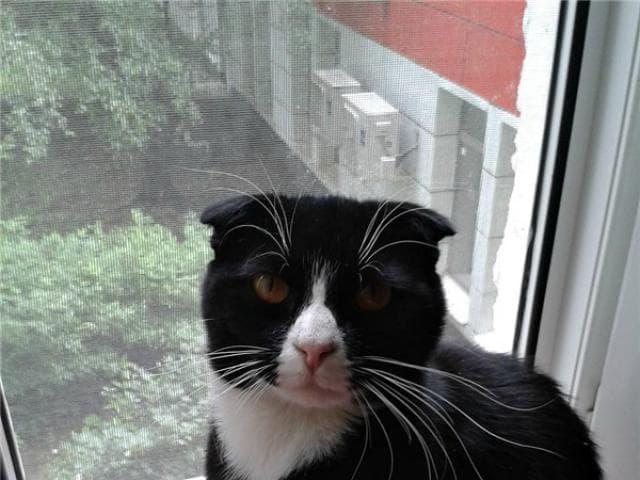 Отдам в дар: Вислоухий котик Емеля ищет дом
