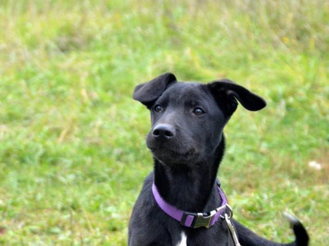 Отдам в дар: Очаровательный щенок в добрые руки фото2