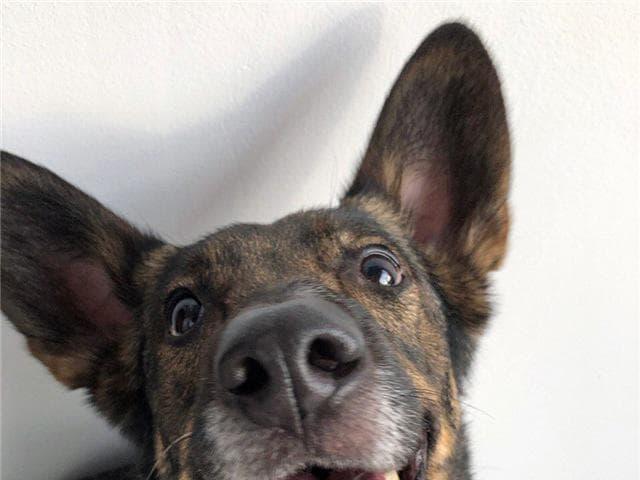 Отдам в дар: Собака-олененок ищет счастье фото2