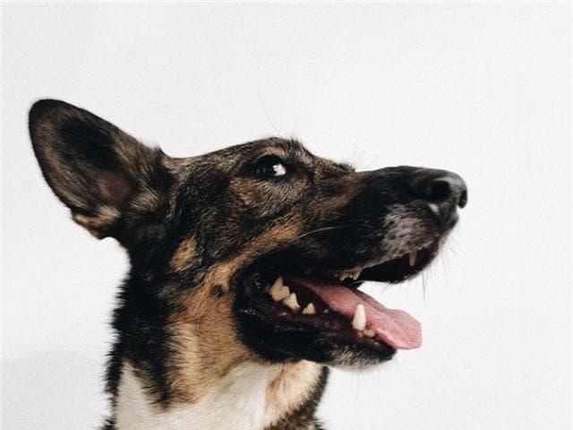 Отдам в дар: Собака-олененок ищет счастье фото3