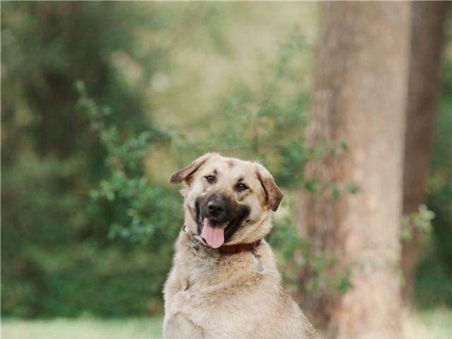Отдам в дар: Большая собака Арья в добрые руки фото2