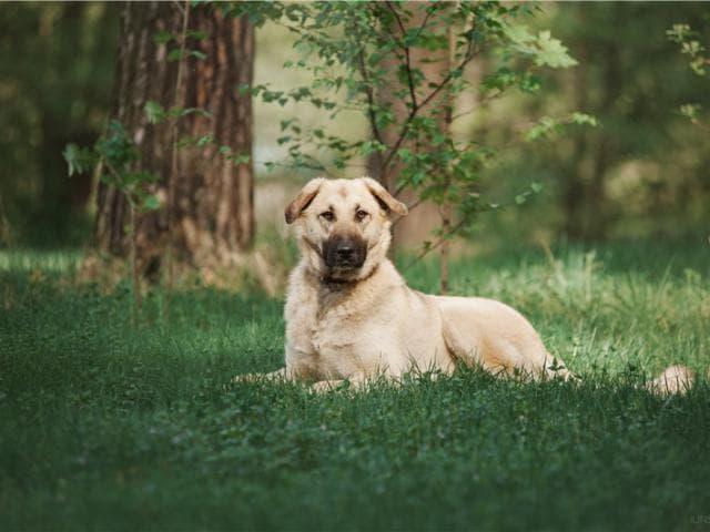 Отдам в дар: Большая собака Арья в добрые руки фото3