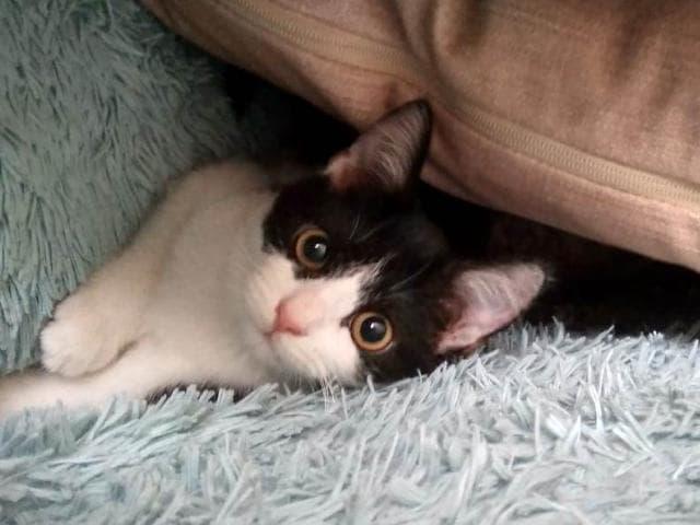 Отдам в дар: Отдам котенка, наполовину черный шотландец страйт