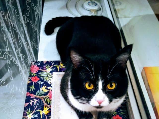 Отдам в дар: Отдам котенка, наполовину черный шотландец страйт фото3