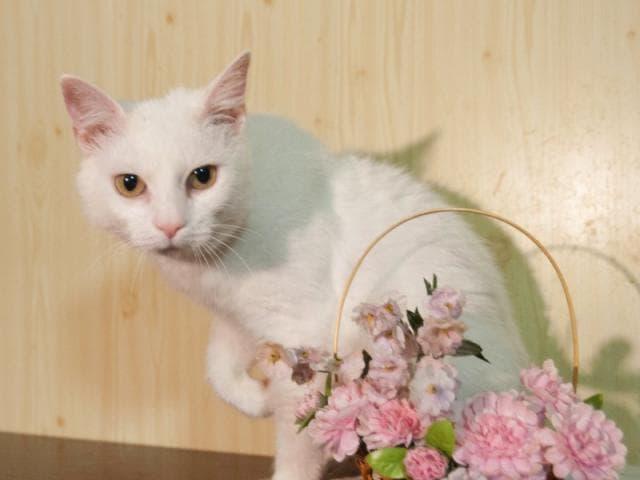 Отдам в дар: Очаровательная белоснежная кошечка в добрые руки фото2
