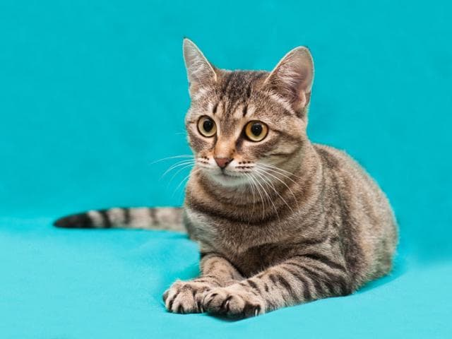 Отдам в дар: Кошечка Верона в добрые руки