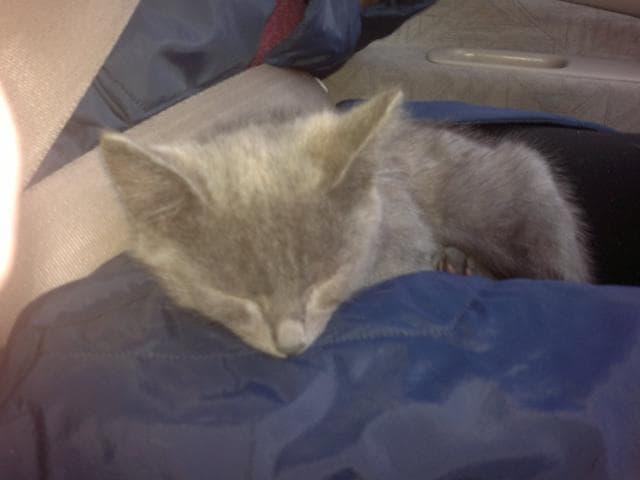 Отдам в дар: Серый дымчатый котенок