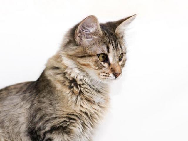 Отдам в дар: Котёнок-лапочка Ясмин в самые нежные ручки фото2