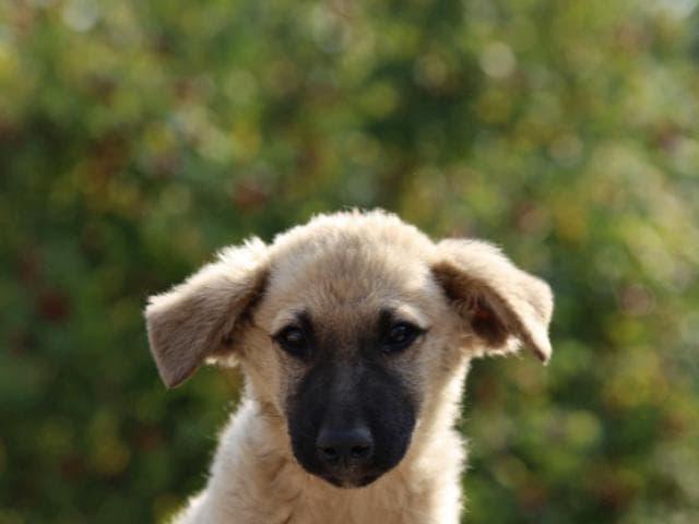 Отдам в дар: Замечательный щенок Север в добрые руки