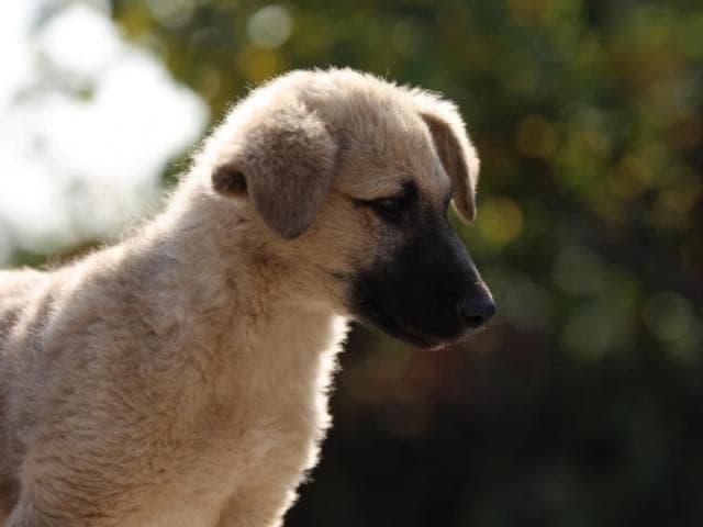 Отдам в дар: Замечательный щенок Север в добрые руки фото3
