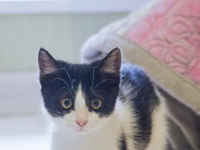 Отдам в дар: Котенок Шуша в добрые руки фото2