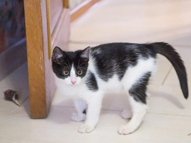 Отдам в дар: Котенок Шуша в добрые руки фото3