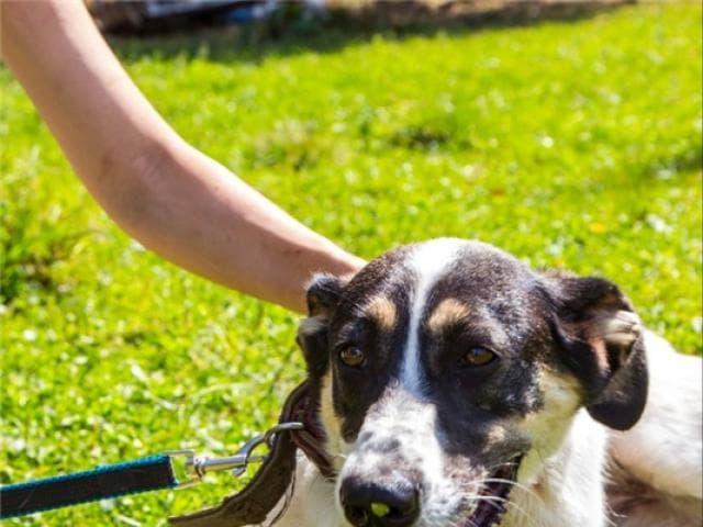Отдам в дар: Чудесная собака Марта в добрые руки фото2