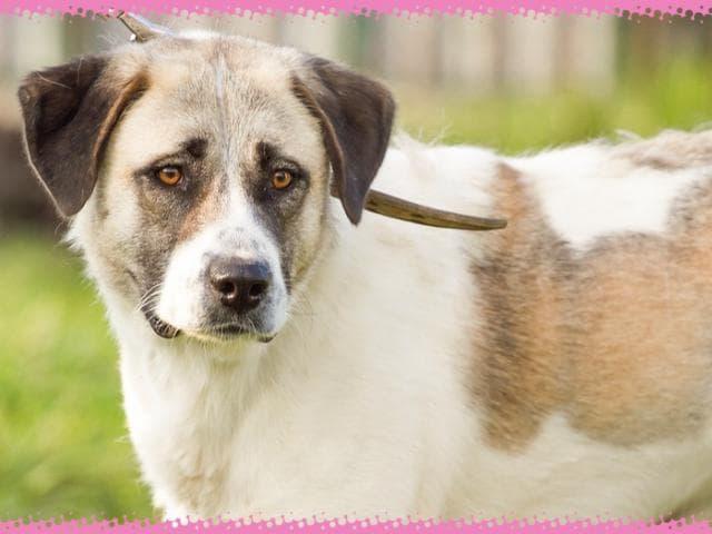 Отдам в дар: Статная Собака Буня ищет семью