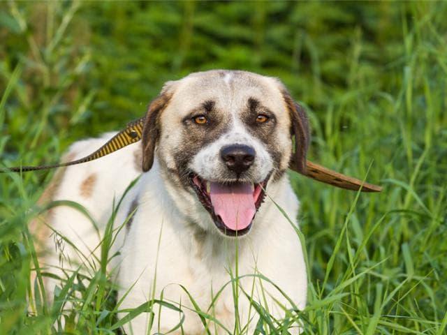 Отдам в дар: Статная Собака Буня ищет семью фото3