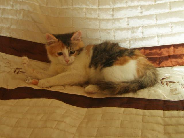 Отдам в дар: Трёхцветный котенок Муся, 2 мес, с доставкой