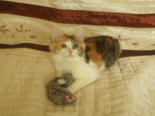 Отдам в дар: Трёхцветный котенок Муся, 2 мес, с доставкой фото2