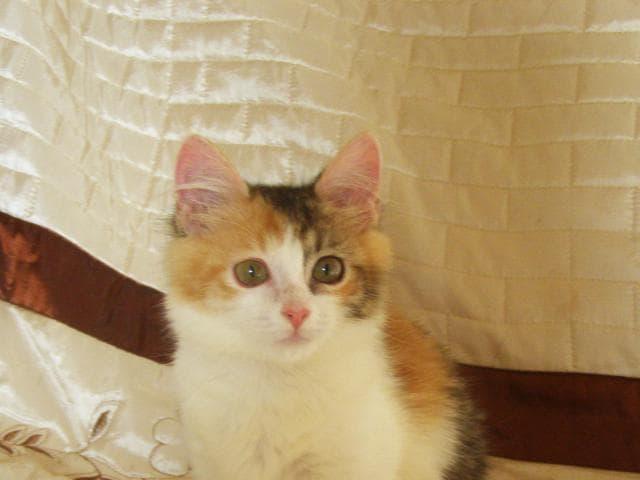 Отдам в дар: Трёхцветный котенок Муся, 2 мес, с доставкой фото3