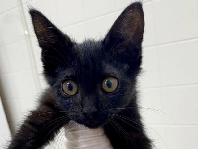 Отдам в дар: Котенок Пума в добрые руки